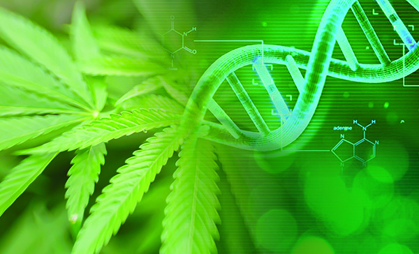 cannabis plant and dna strand thc percentage